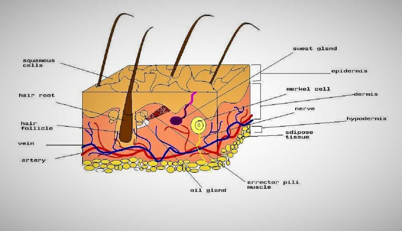 Structure of skin - A Creature of Epidermis, Dermis and Hypodermis