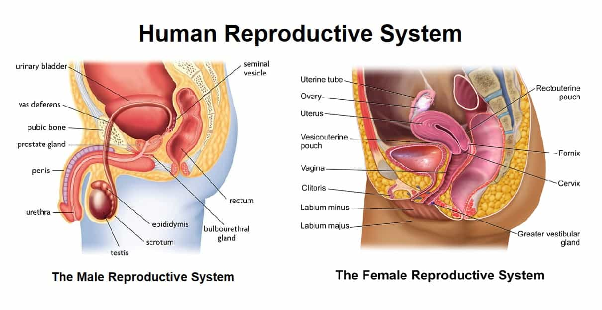 Human Reproductive system- Formation of Gametes, Organs Overview and Function