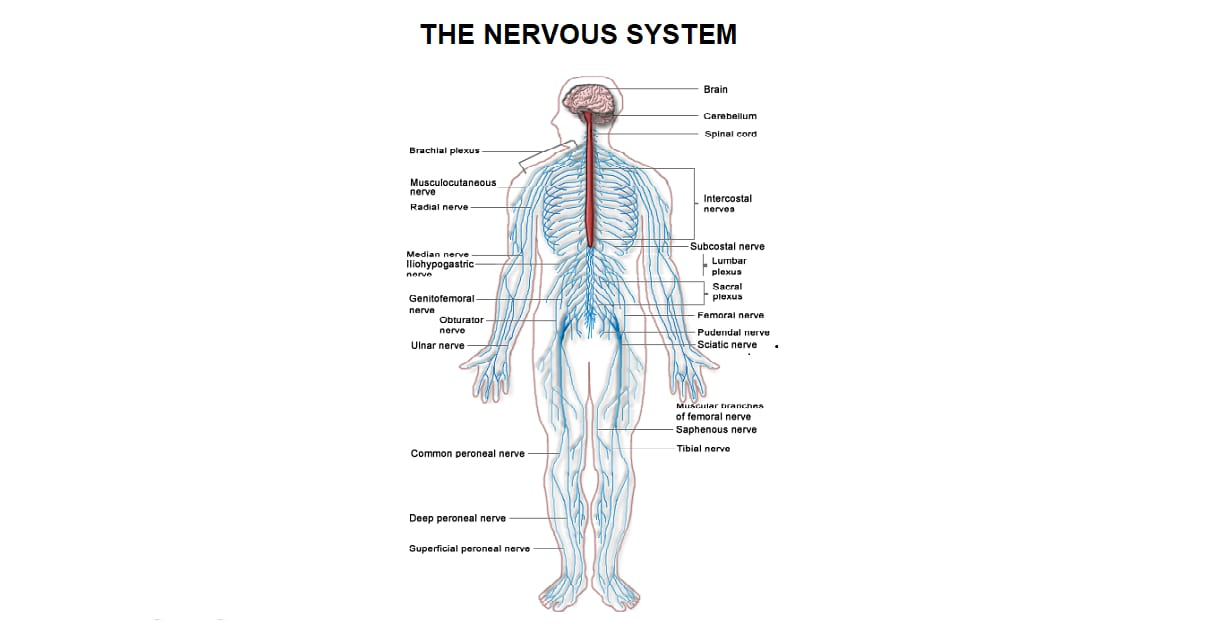Nervous system-Introduction, Types, and Function