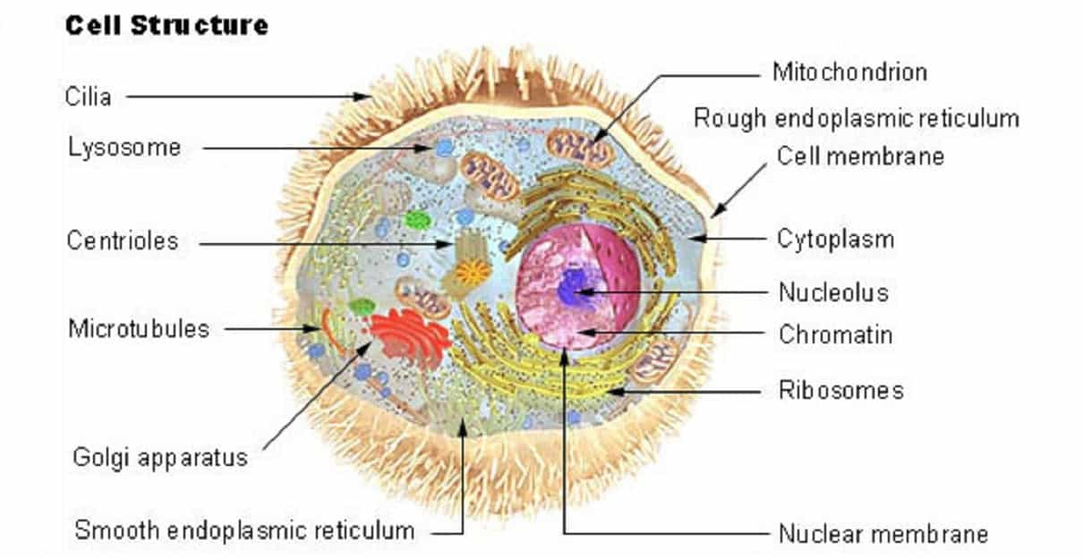 Cell- Introduction And Its Organelles