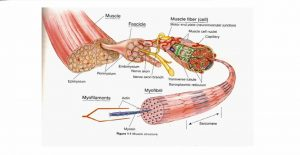 Microscopic Structure Of Skeleton Muscles
